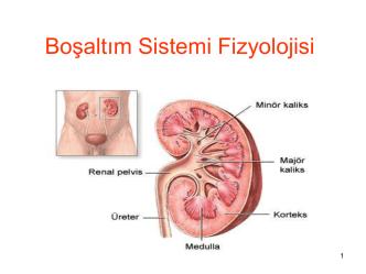 Boşaltım Sistemi Fizyolojisi