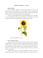 13.Helianthus