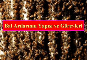 Belge_bal arılarının yapısı ve görevleri_1WZEQ