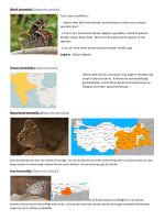 Büyük karamelek ( Hipparchia syriaca ) Türün ayrıcı