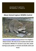 Raccoon Removal in Los Angeles, CA : Animal Capture Wildlife Control