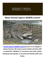 Raccoon Removal in Los Angeles, CA : Animal Capture Wildlife Control