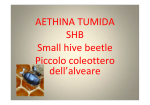 AETHINA TUMIDA SHB Small hive beetle Piccolo coleottero dell