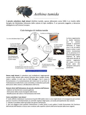 Aethina tumida - Apicoltura Angrisani