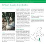CIPOLLA BIANCA DI CHIOGGIA